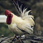林修の今でしょ!講座【鶏肉の粘膜を丈夫にするなど健康パワー】梶本修身先生が解説