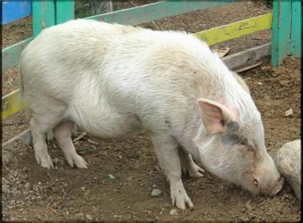 林修の今でしょ!講座 豚肉 健康パワー