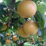 【相葉マナブ】梨レシピ!まるごと焼き梨の作り方を紹介!市川の梨産地ごはん