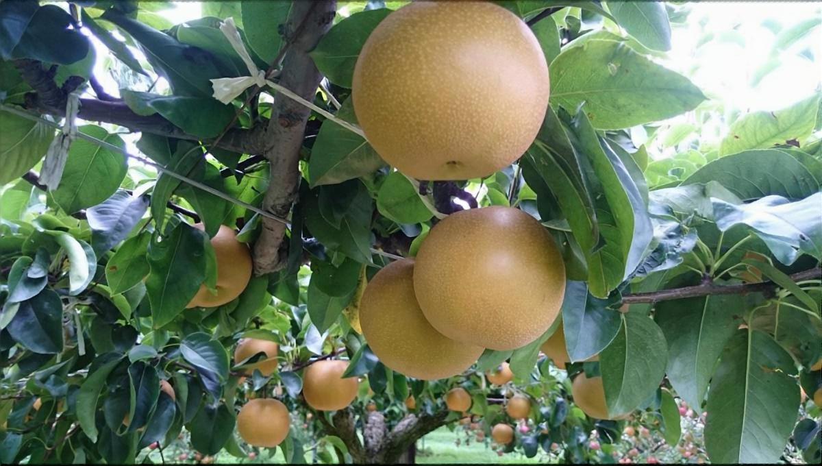 まるごと焼き梨